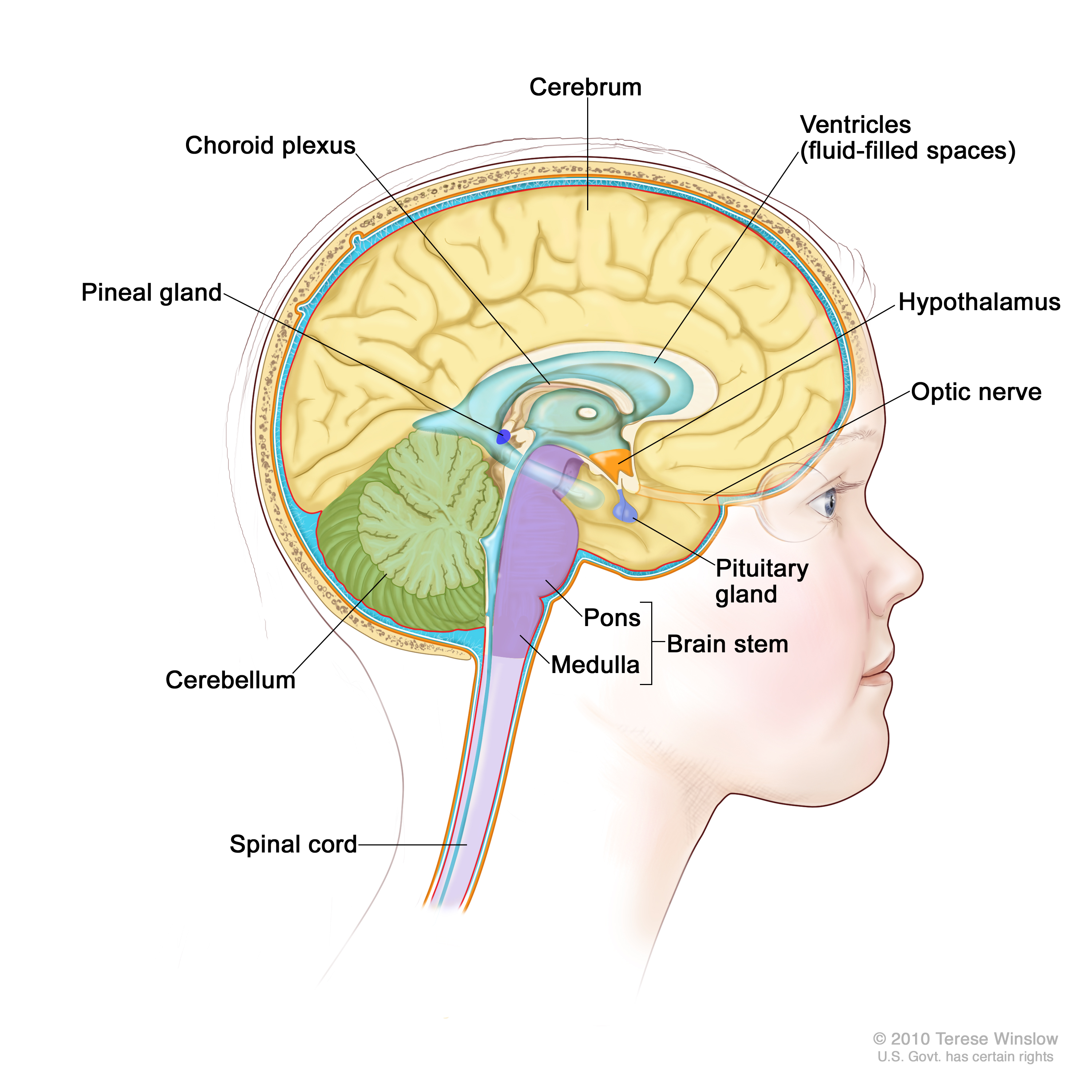 Childhood Central Nervous System Germ Cell Tumors ... Brainstem And Spinal Cord
