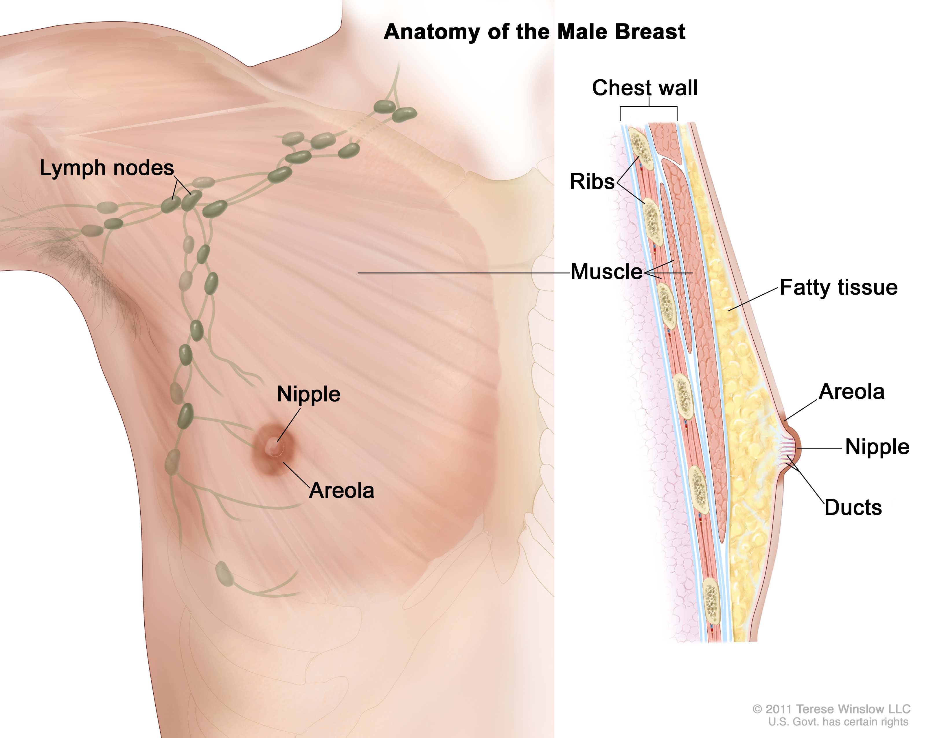 Breast glands and ducts