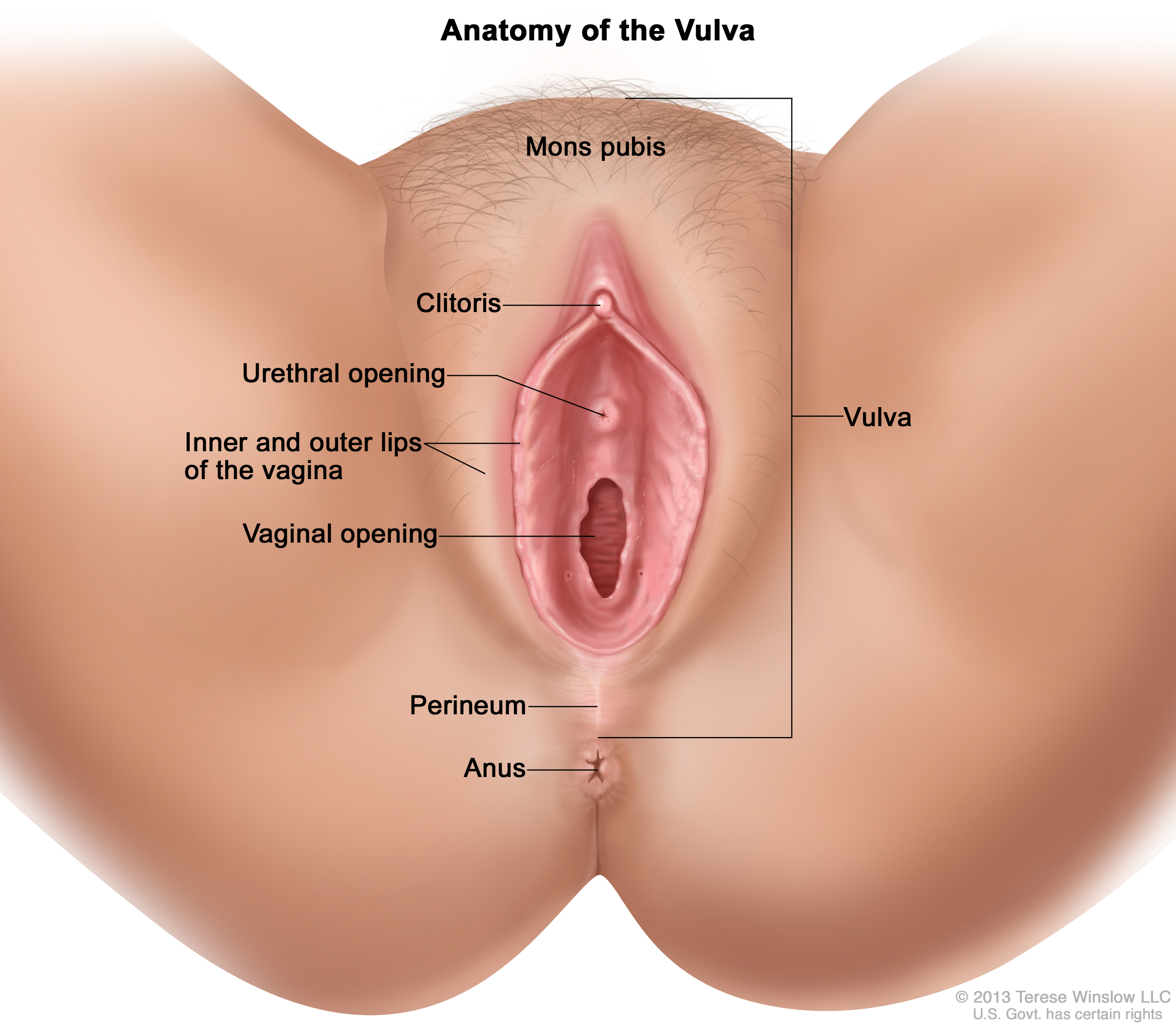 Anatomy of the vulva; drawing shows the mons pubis, clitoris, urethral ...